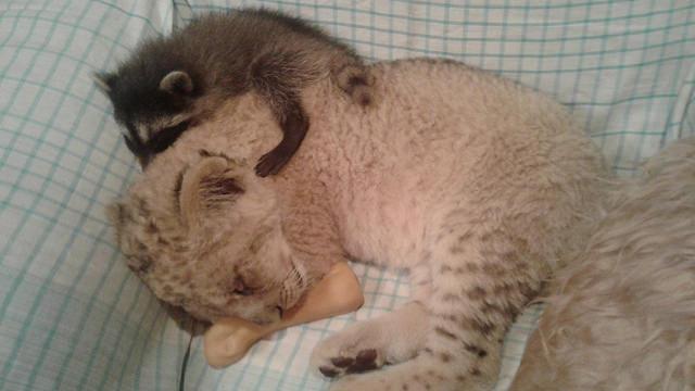 В Сызранском зоопарке львёнок Симба подружился с енотом Машей